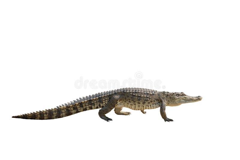 Tajlandia dziecka krokodyl patrzeje Odizolowywający obrazy stock