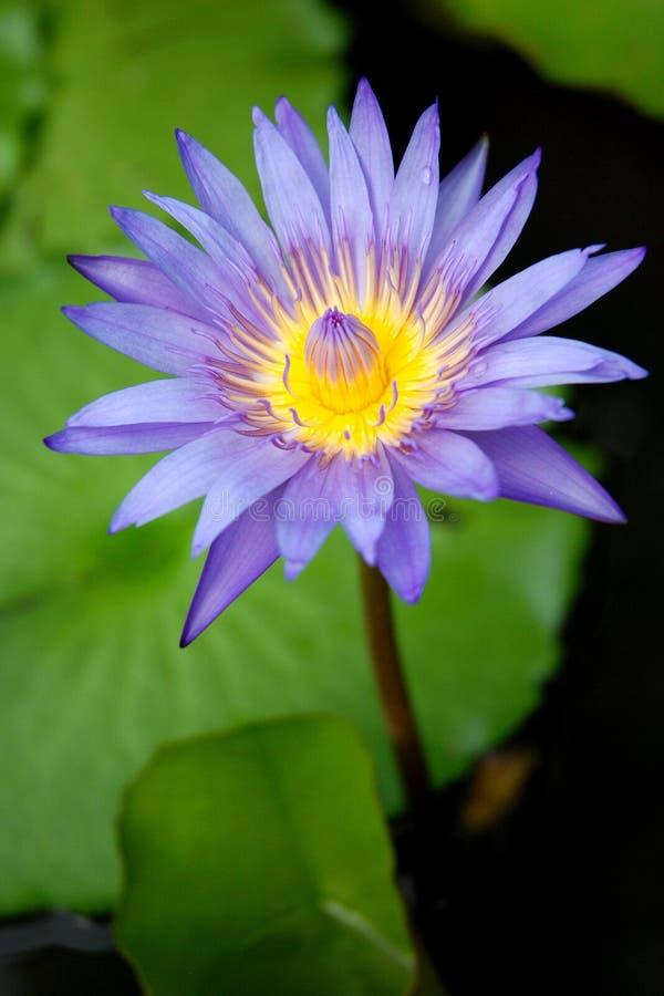 Tajlandia Lotus zdjęcie royalty free