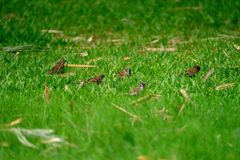Tajlandia małego brązu wróbli ptak w parku i graden zdjęcia stock