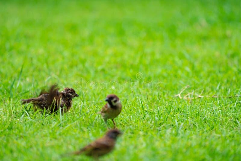 Tajlandia ma?ego br?zu wr?bli ptak w parku i graden fotografia royalty free