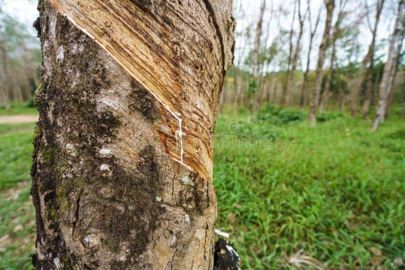 Tajlandia Wizerunek gumowy drzewo, zakończenie zdjęcie royalty free