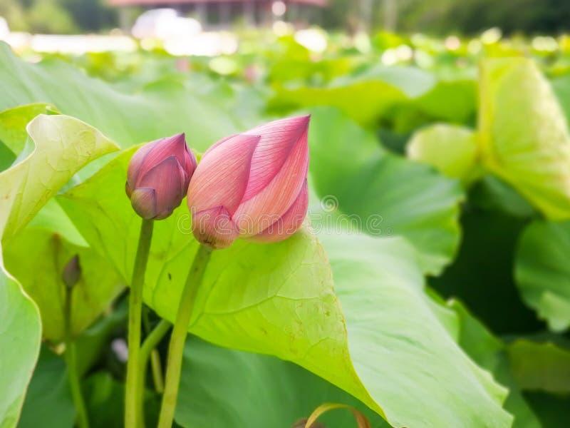 Tajlandzki średniorolny flancowanie lotos zdjęcia royalty free