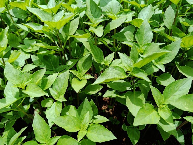 Tajlandzki basila sping jaskrawy - zieleń liście zasadzają dorośnięcie w pogodnym przy jarzynowego ogródu tłem zdjęcie royalty free