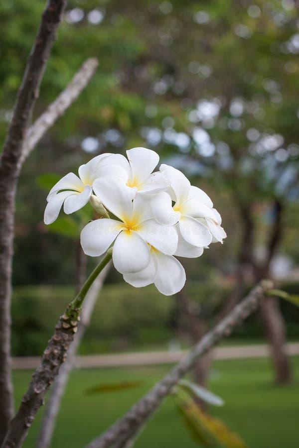 Tajlandzki białego kwiatu kwitnienie na drzewie obrazy royalty free