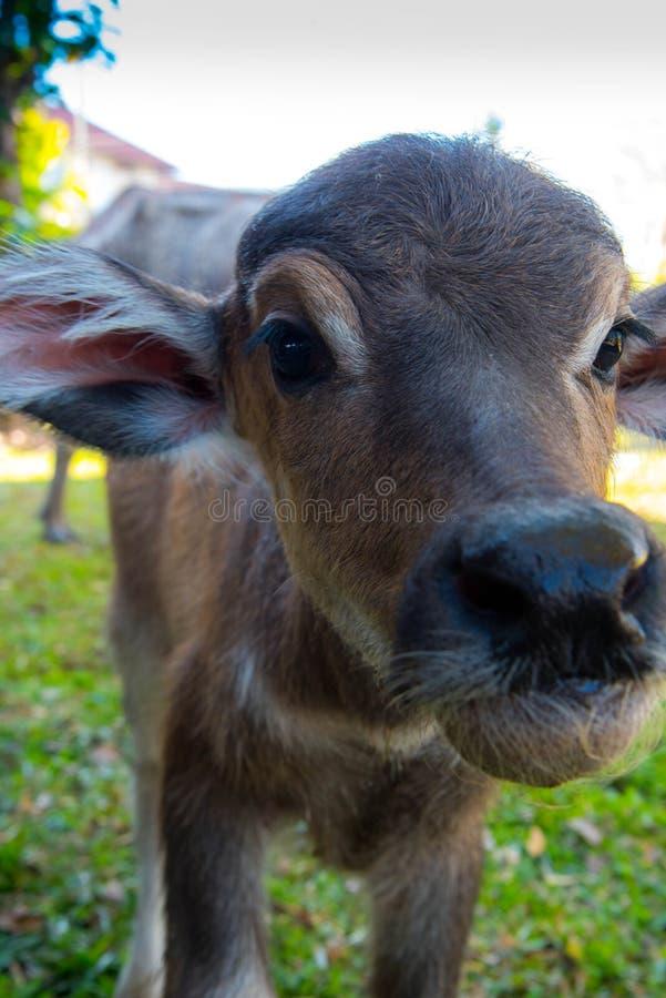 tajlandzki dziecko bizon zdjęcie stock