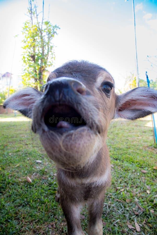 tajlandzki dziecko bizon zdjęcia stock
