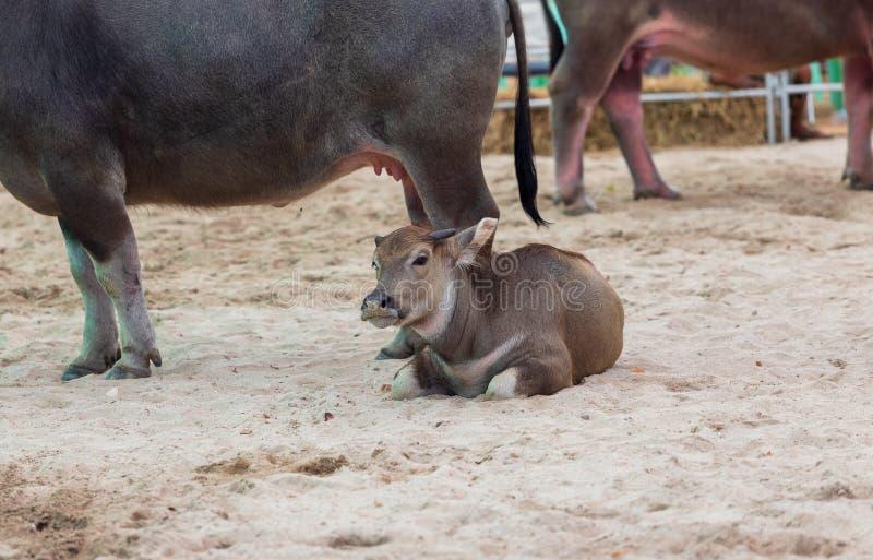 Tajlandzki dziecko bizon w jakaś akcji, relaksuje blisko twój matki obraz stock
