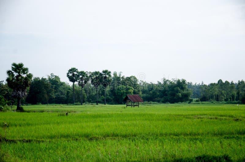 Tajlandzki Hom Mali Rice jeden świat obrazy stock