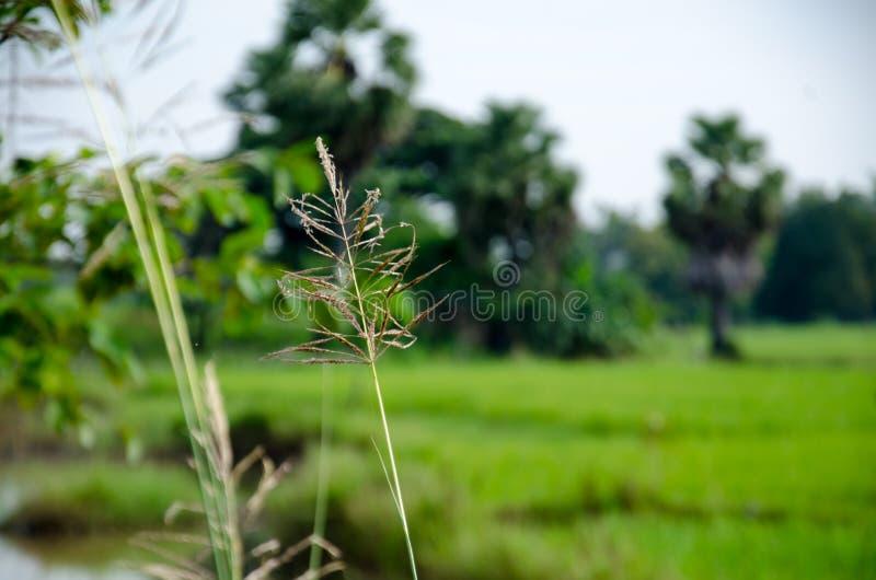 Tajlandzki Hom Mali Rice jeden świat zdjęcie royalty free