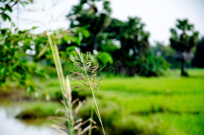 Tajlandzki Hom Mali Rice jeden świat fotografia royalty free