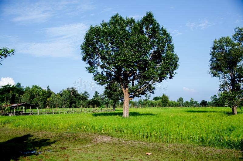 Tajlandzki Hom Mali Rice jeden świat obraz stock