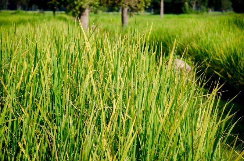 Tajlandzki Hom Mali Rice jeden świat zdjęcia stock