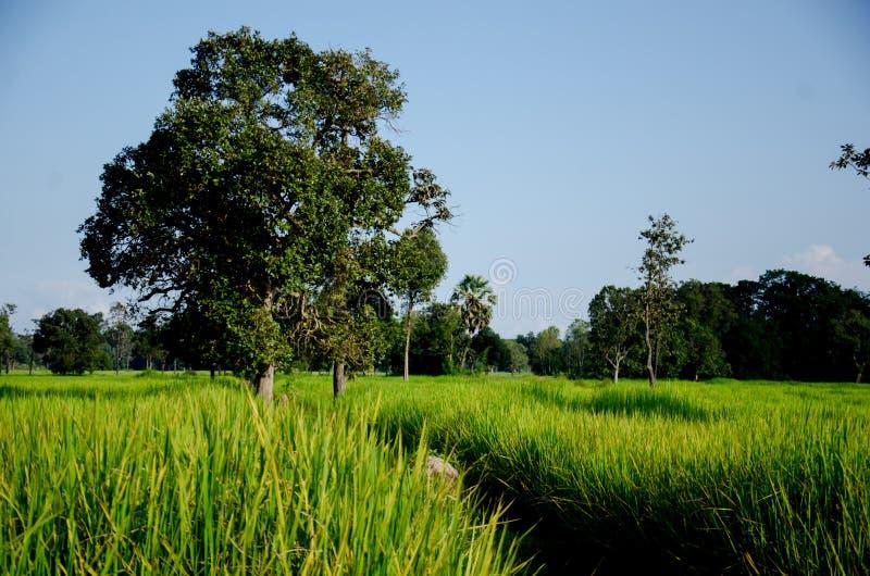 Tajlandzki Hom Mali Rice jeden świat obraz royalty free