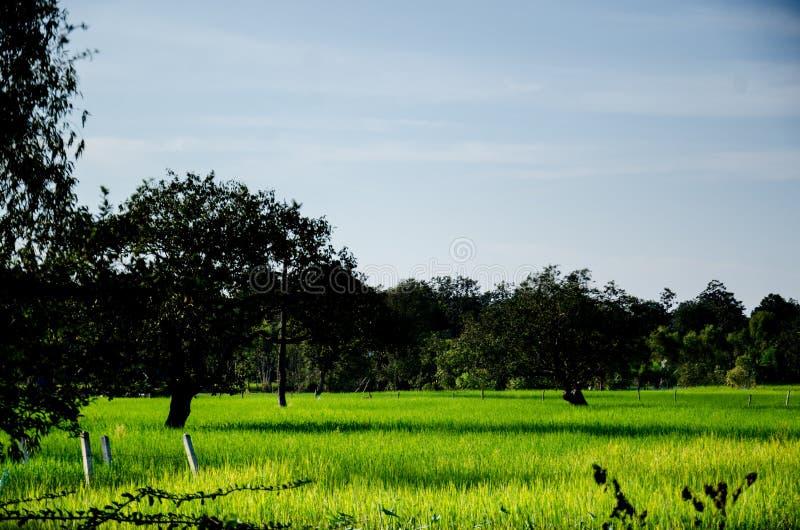 Tajlandzki Hom Mali Rice jeden świat obrazy royalty free