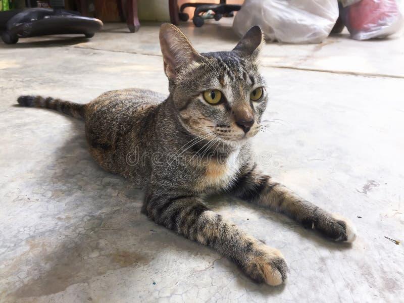 Tajlandzki kot jest ślicznym kotem z bliska obrazy royalty free