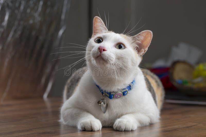 Tajlandzki perkalu lub parti colour kota przycupnięcie zdjęcia stock