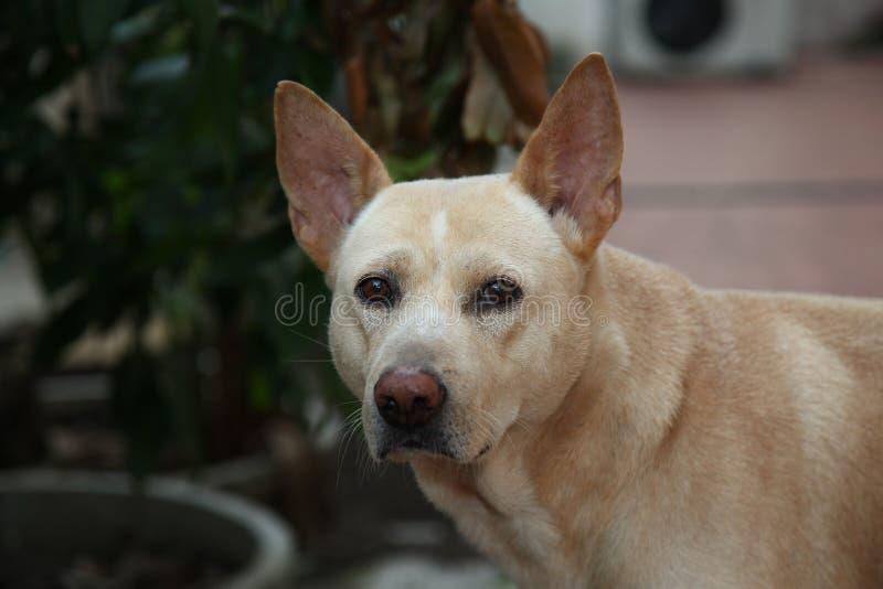 tajlandzki psi patrzeje ja fotografia royalty free