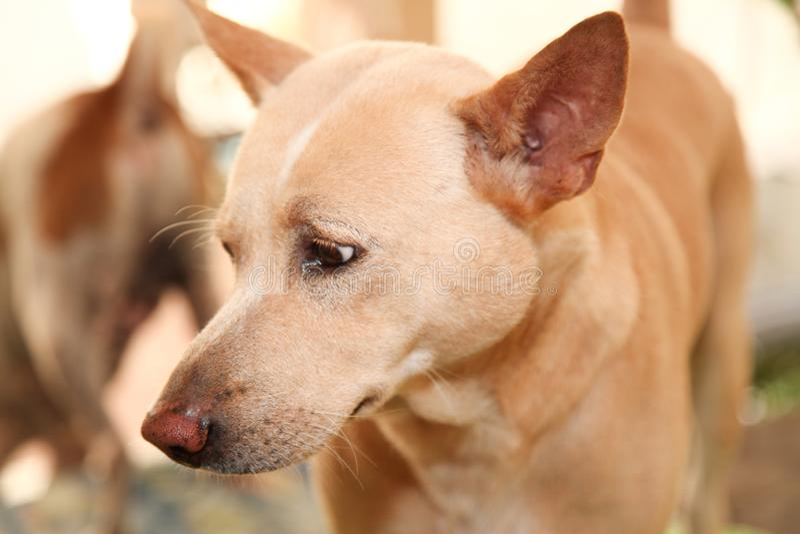 tajlandzki psi patrzeje ja fotografia stock