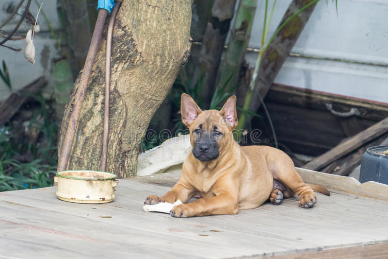 tajlandzki psi ridgeback obrazy royalty free