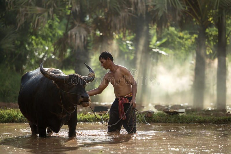 Tajlandzki rolnik i bizon fotografia royalty free