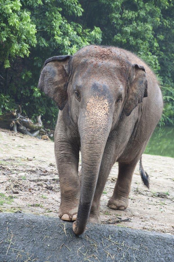 Tajlandzki słoń obraz stock