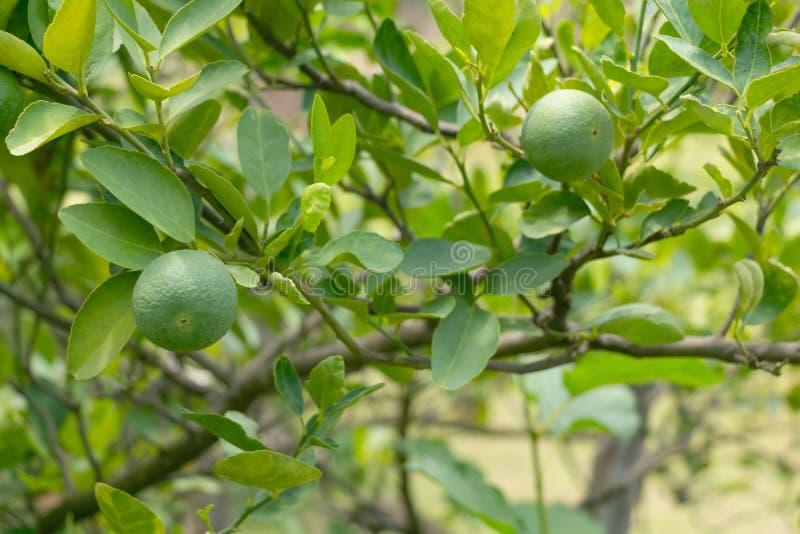 Tajlandzki zielony cytryny flancowanie w domowym kuchennym ogródzie lub podwórko ogródzie zdjęcia royalty free