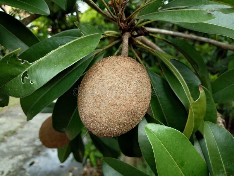 Tajlandzkie owoc, sapodilla drzewo lub owocowe rośliny są dla sprzedaży w rynkach otwartych w Tajlandia Tam są wiele rodzaje owoc obraz stock