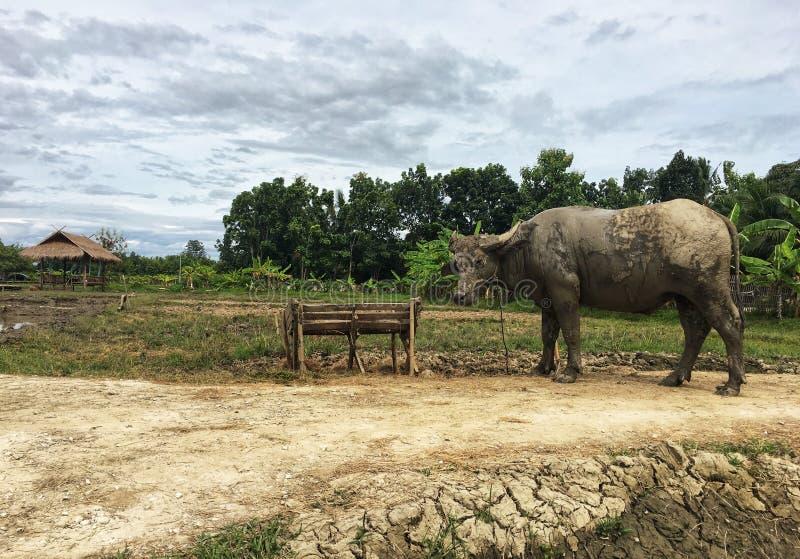 Tajlandzkiego bizonu brudny błoto był statywowy plenerowy zdjęcie royalty free