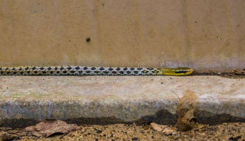 Tajwański piękno szczura węża czołganie w ogródzie, popularny wąż od Azja, wąż z czerni, bielu i koloru żółtego kolorami, zdjęcie royalty free