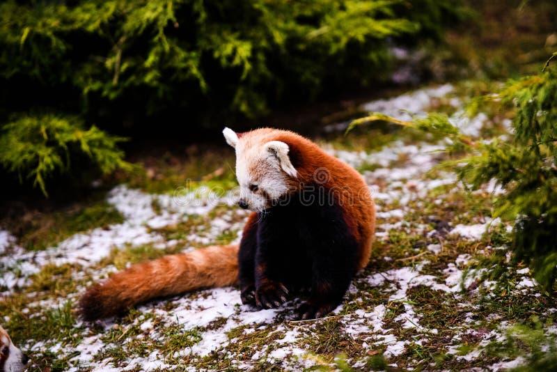 tak?e jako kot zna? pandy portreta czerwieni ja?nienie fotografia stock