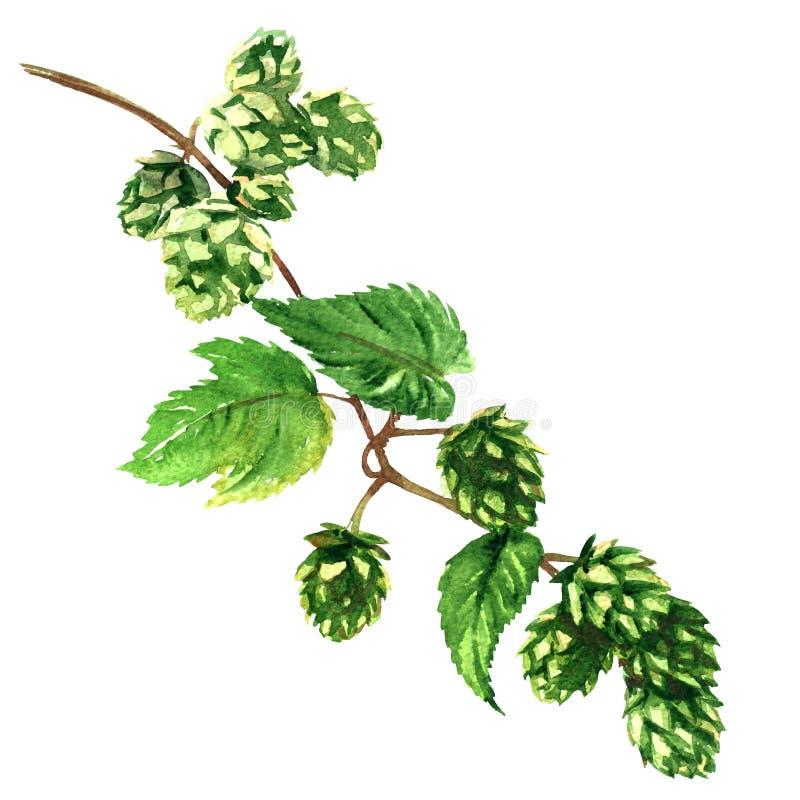 Tak groene hop met geïsoleerde bladereninstallatie, waterverfillustratie royalty-vrije illustratie