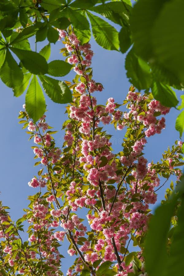 Tak Japans Cherry Blossom stock afbeeldingen