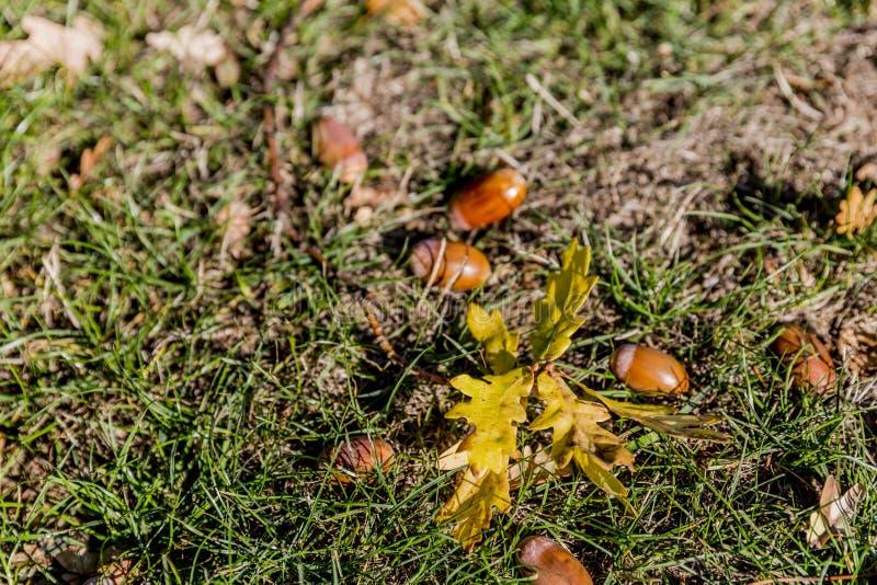 Tak met bladeren en eikels op het gras op een de herfstdag stock afbeelding