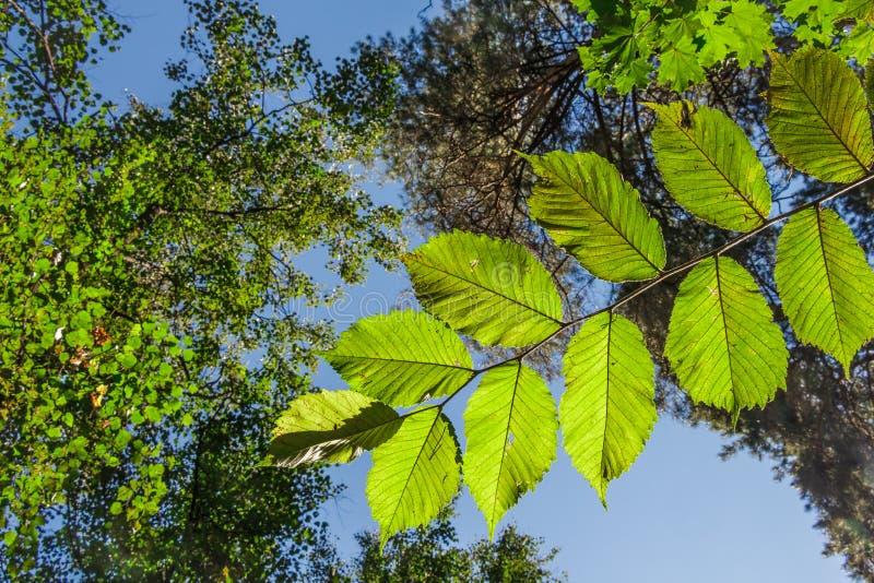 Tak met bladeren van okkernootboom in het bos stock fotografie