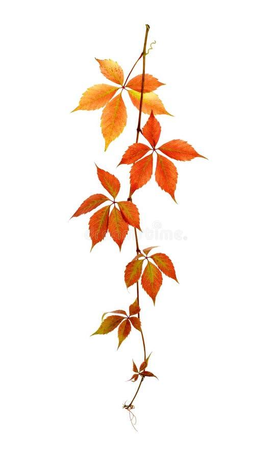 Tak met bladeren van wilde druiven stock afbeeldingen