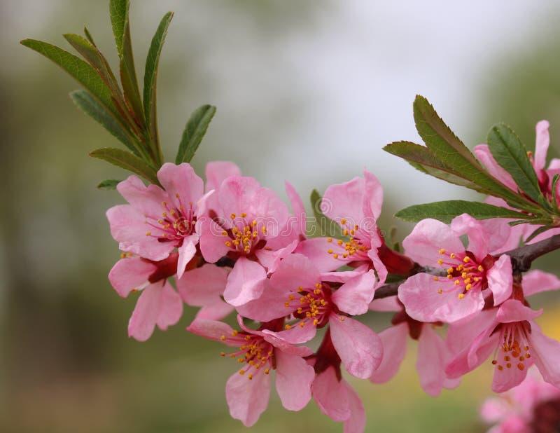 Tak met bloemen van amandel royalty-vrije stock afbeeldingen