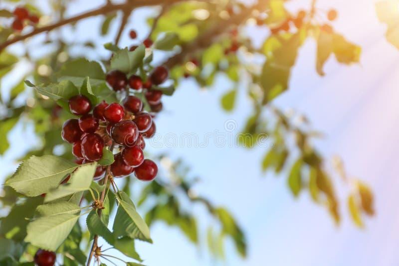 Tak met kersenbessen in tuin op zonnige dag stock afbeelding