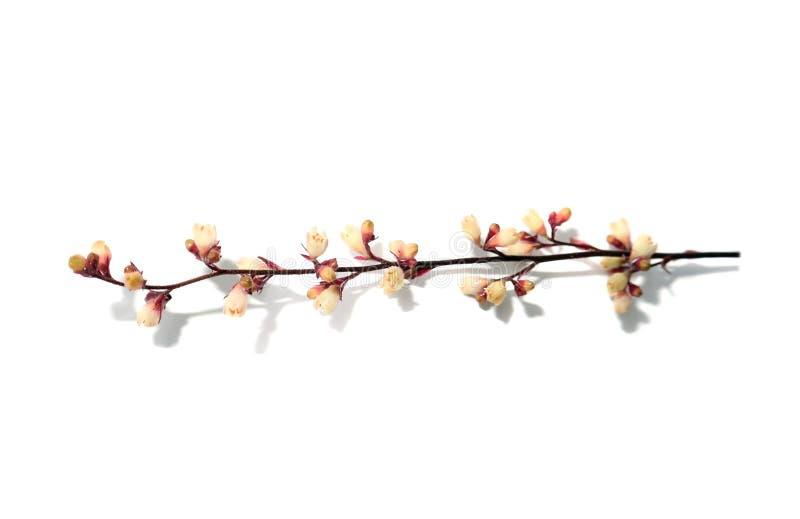 Tak met kleine roze die bloemen op een witte macrofoto worden geïsoleerd als achtergrond stock afbeeldingen