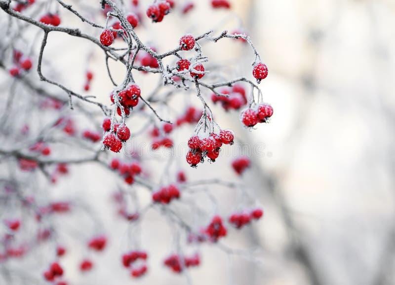 tak met Lijsterbessenbessen in de winter het Park mede is royalty-vrije stock afbeeldingen