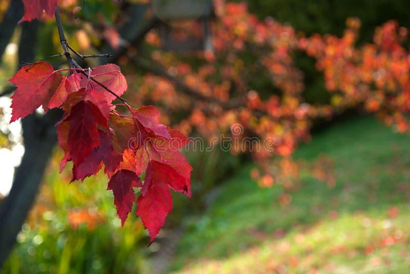 Tak met rode bladeren stock foto