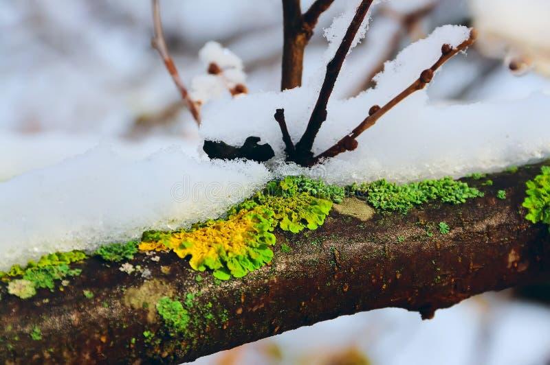Tak met sneeuw en groen mos, dooi royalty-vrije stock afbeeldingen