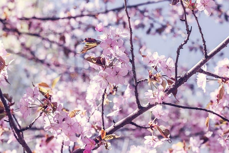 Tak met tot bloei komende sakurabloemen, Japanse tuin royalty-vrije stock afbeelding