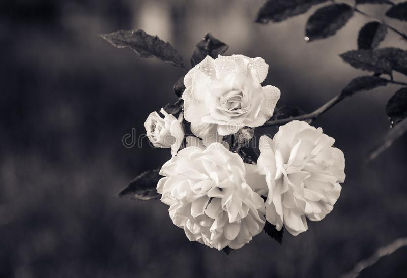 Tak met witte rozen op een natuurlijke groene achtergrond zwart-wit stock foto