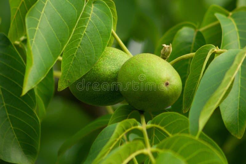 Tak op okkernootboom Detail van onrijp fruit van okkernoot stock foto