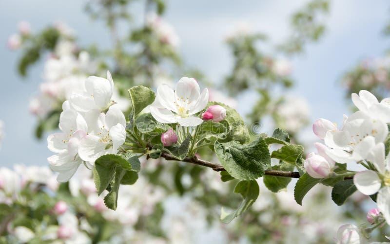 Tak van appelbloesems royalty-vrije stock afbeelding