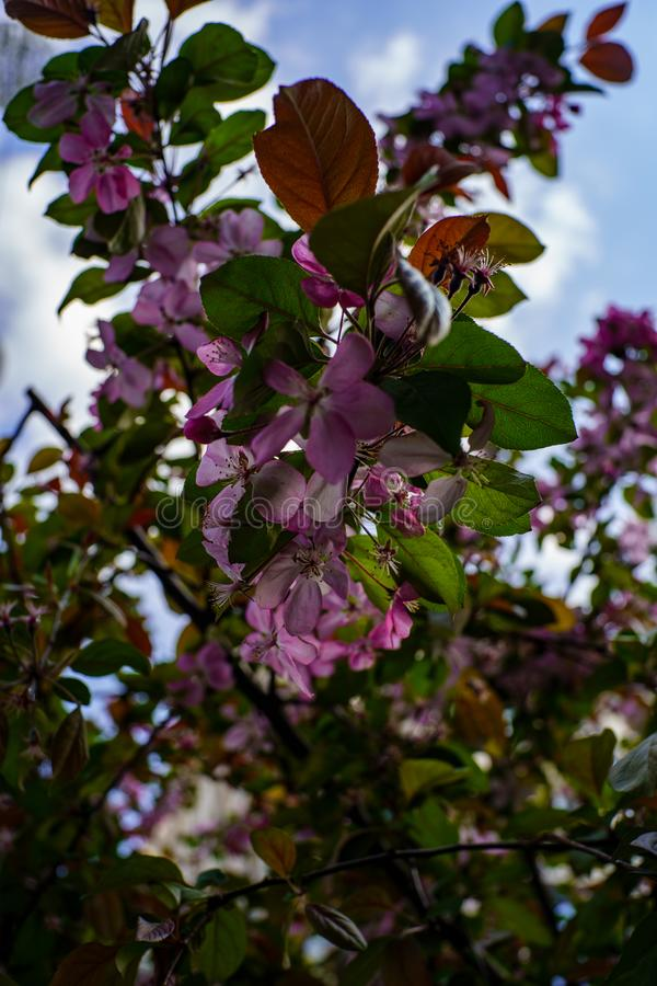Tak van bloeiende boom met zacht roze bloemen en groene bladeren tegen blauwe hemel royalty-vrije stock foto