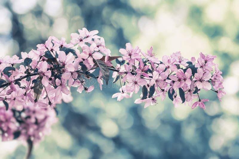 Tak van bloeiende de lenteboom, roze bloemen Wijnoogst gestileerde kleur De samenvatting vertroebelde gestemde achtergrond royalty-vrije stock afbeeldingen