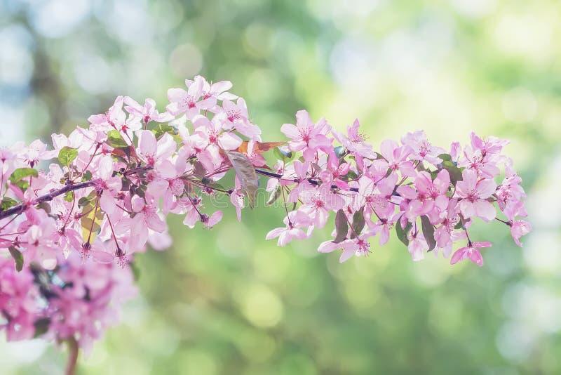 Tak van bloeiende de lenteboom, roze bloemenclose-up Natuurlijke lichte zonnige achtergrond met levendige bokeh royalty-vrije stock afbeelding