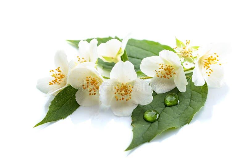 Tak van bloeiende jasmijn op witte achtergrond stock foto's