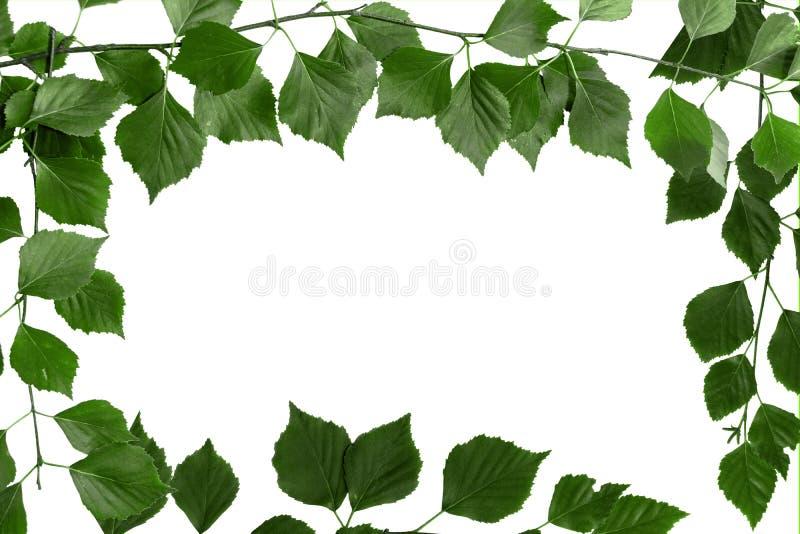 Tak van boom met groene bladeren Witte achtergrond, exemplaarruimte voor tekst stock foto